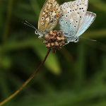 Chalkhill Blues Mating (male on left)