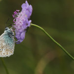Chalkhill blue on Scabius