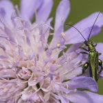 Swollen-Thighed Beetle (Male)
