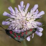 Six-spot Burnet Moths Mating On Scabious