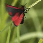 Cinnabar Moth Taking Flight