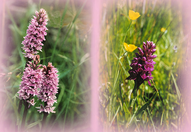 During the summer, there is an abundance of orchids on the crofts