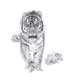 'Bang!', Siberian Tiger, 2013 Black Biro Drawing