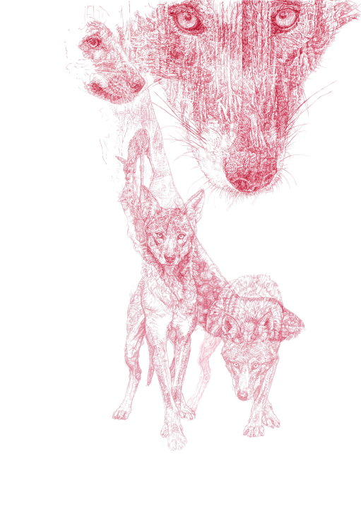 'Red Wolf', 2016 Limited Edition 50 Signed and Numbered Prints for WCC.  £55