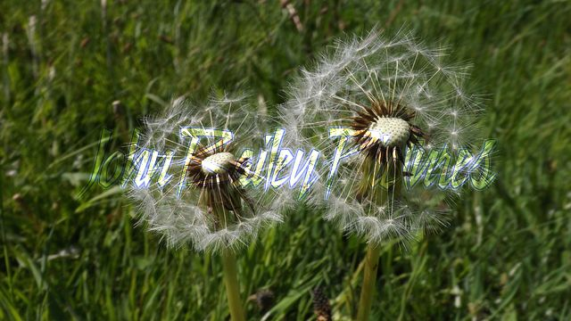 Dandelion Fairies