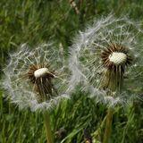 Dandelion Fairies