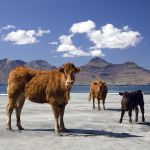 The Herd-Eigg