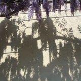 Laburnum shadows