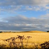 Field of barley, Stonehaven