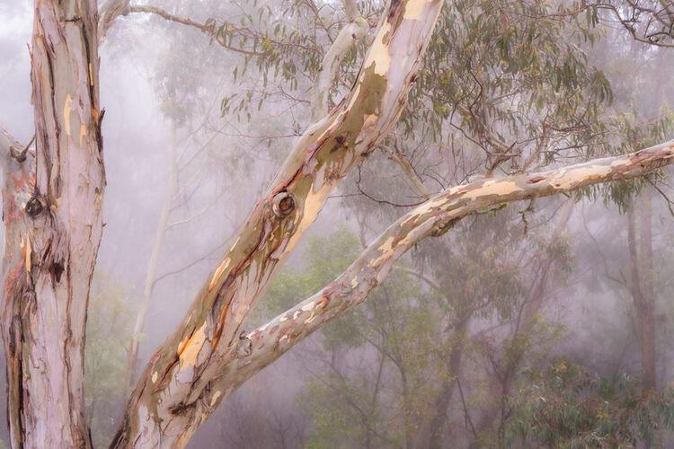 0800 Eucalypt serenity
