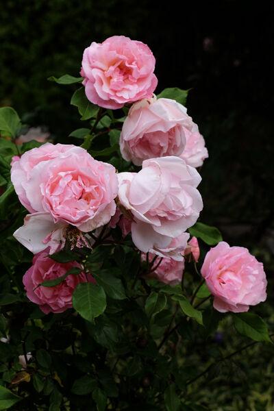 5035 Rose bouquet