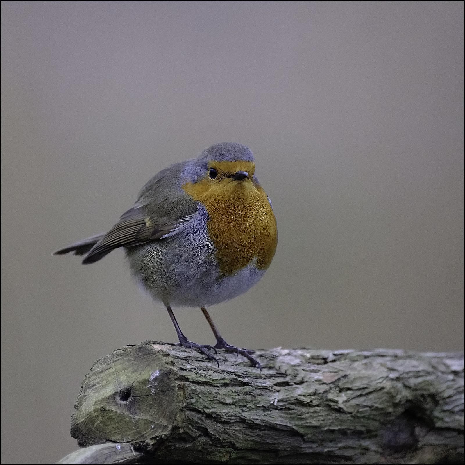 Waiting Robin