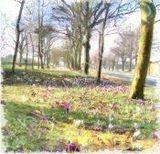 Crocuses on the moor, Halifax
