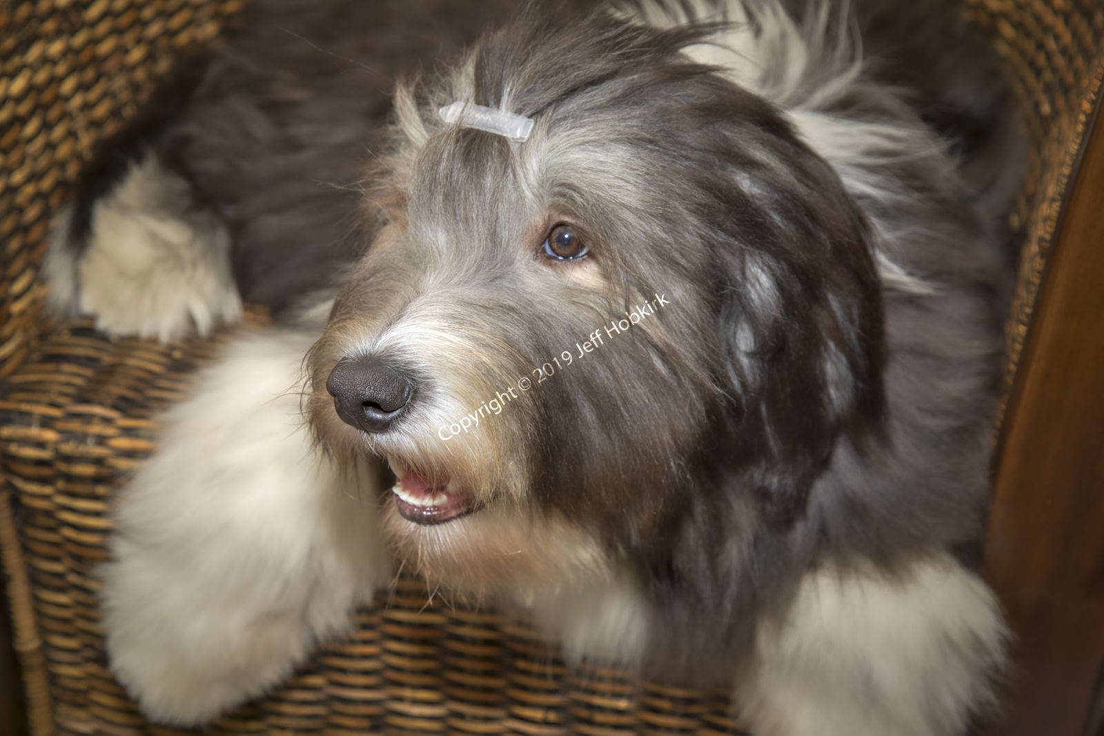 Belle - Our Bearded Collie