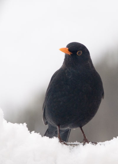 Male Blackbird in my garden.