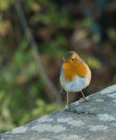 Robin at Yat Rock
