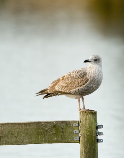 Juvenile gull in winter plumage