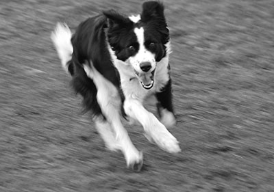 Welsh sheepdog at speed