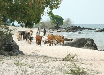Cattle driven along the beach