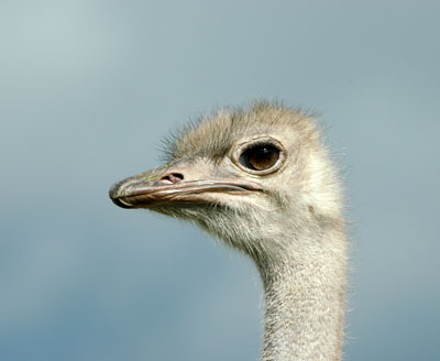 Ostrich keeping a good look out...