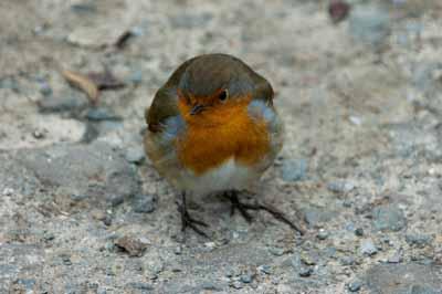 A very cute Robin