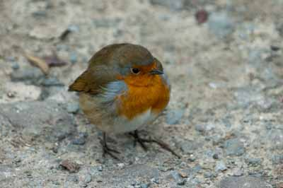 Another close shot of the Robin