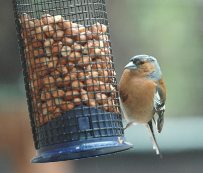Here's a male Chaffinch