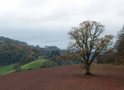 A magnificent tree outside Goodrich Castle