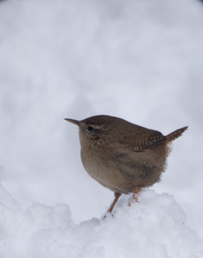 A tiny little Wren