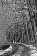 Beech trees at Cwm George, Dinas Powis, winter