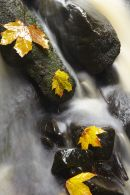 Autumn leaves in a stream