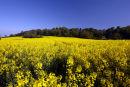 A field of Rape flowers