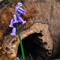 Bluebell Woods, Isle of Wight