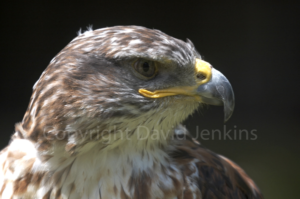 Ferroginous Hawk