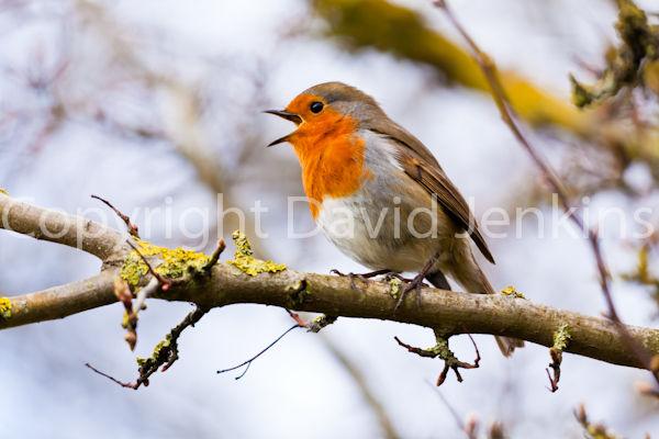 Robin in full song