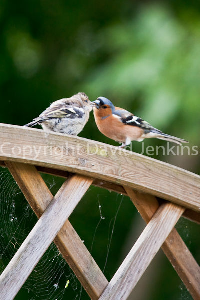 Young Chaffinch feeding from parent