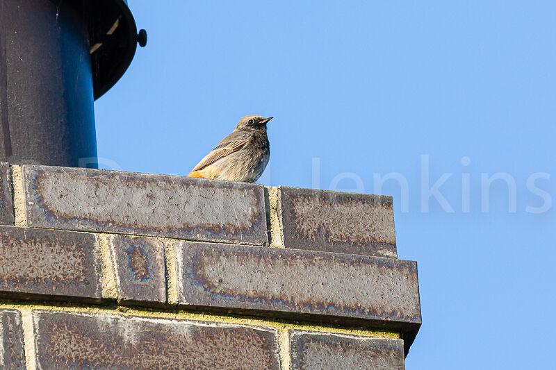 A rare sight of a Black redstart on my chimney.