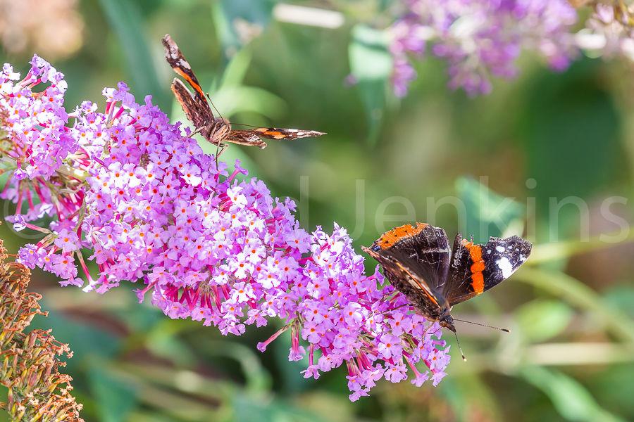 Red Admiral butterflies.