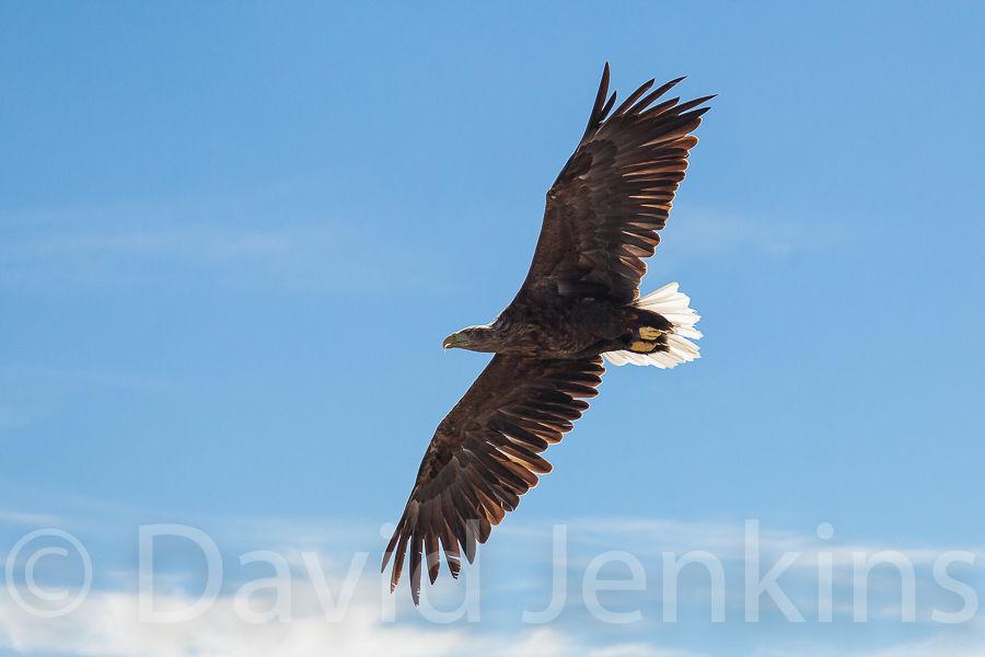 White tailed eagle (Sea eagle).