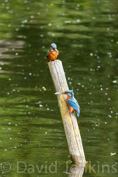 Kingfisher, male and female.