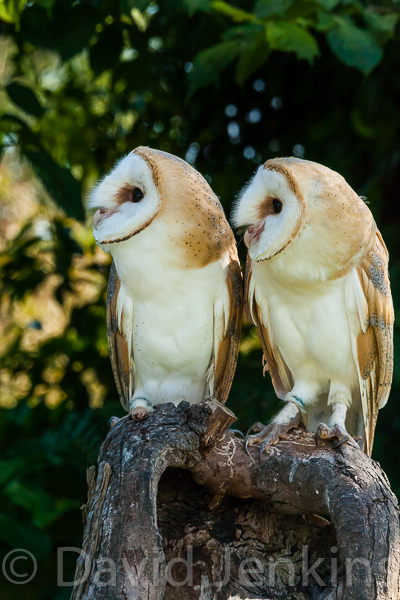 Young Barn owls.