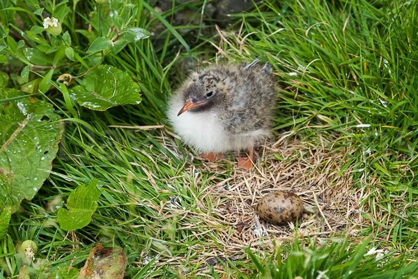 Arctic Tern chick and egg.