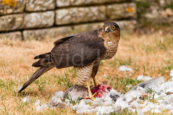 Sparrrowhawk feeding