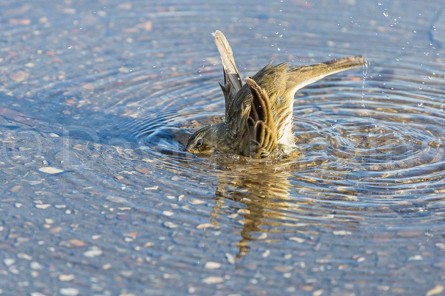 Rock Pipit bathing.