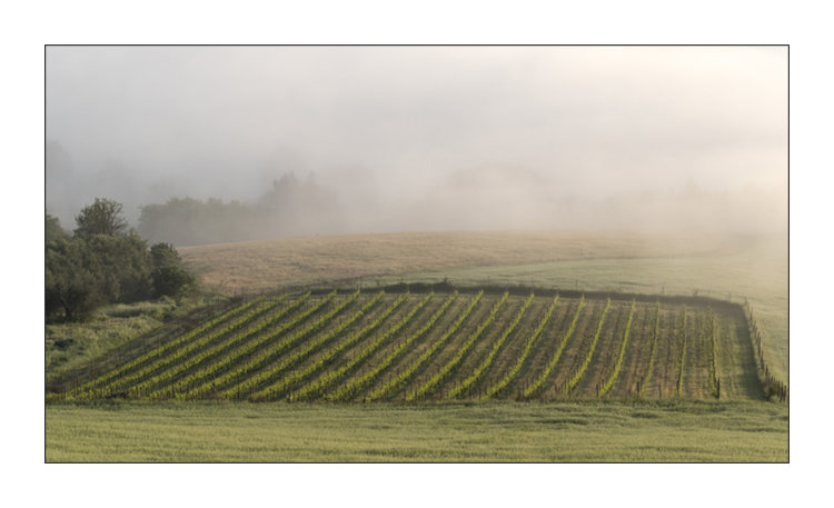 Early morning over the vines