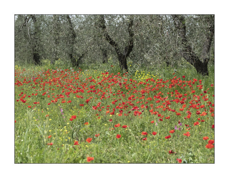 Olives & Poppies