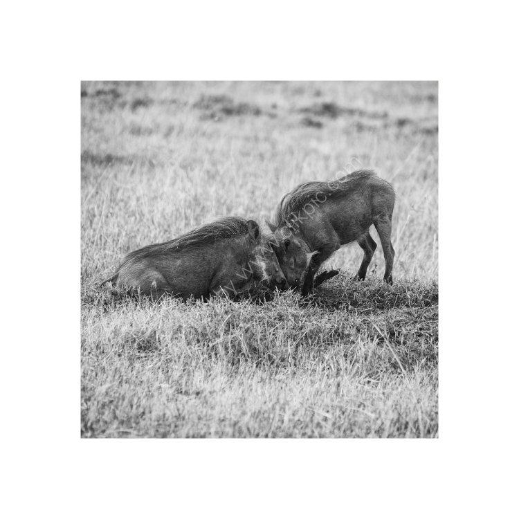 Warthog Face Off