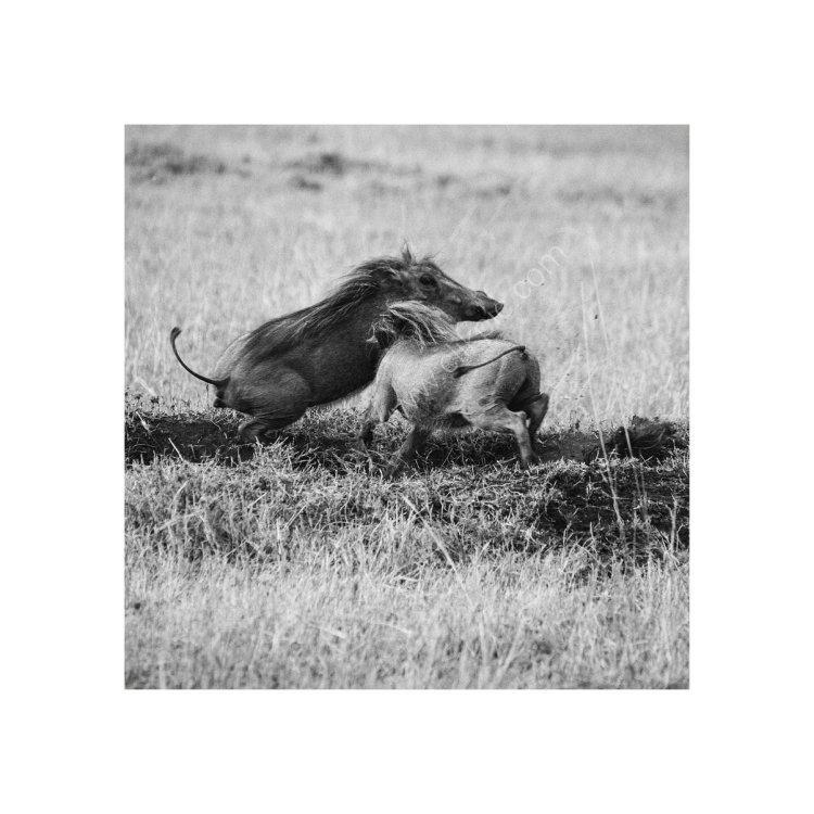 Warthog Faceoff Study 2