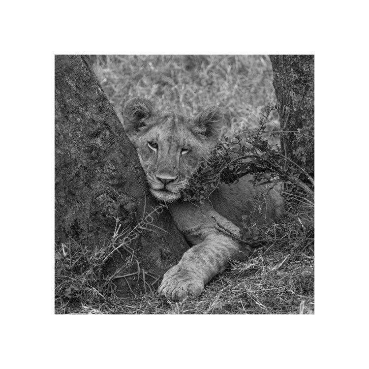 Lion Cub relaxing, Study 1