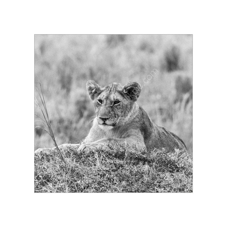 Lion Cub relaxing Study 2